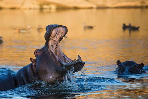 africa sunset wild water animal animals closeup canon gold wildlife safari hippo namibia hippopotamuses namibie markiii 100400 hippopotamidae canon5dmarkiii 5dmarkiii
