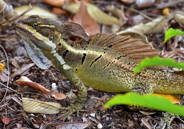 Jesus Christ Lizard (Striped Basilisk) at Manuel Antonio National Park.