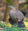 Malayan Night-Heron, Gorsachius melanolophus. by jwsteffelaar