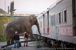 Ringling Bros. Circus Elephants | by Scriptunas Images