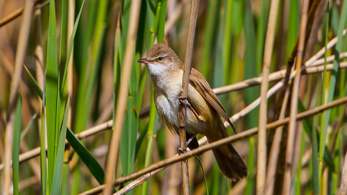 Great Reed Warbler   by Akulatraxas