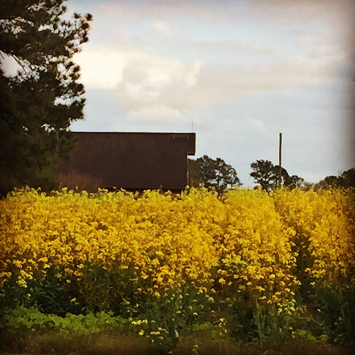 iphone pocomokecitymd springbarnyellowflowers