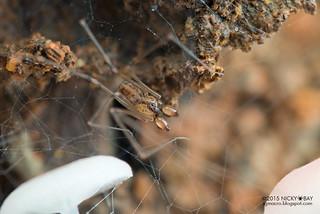 Daddy-long-legs spider (Holocneminus multiguttatus) - DSC_8866
