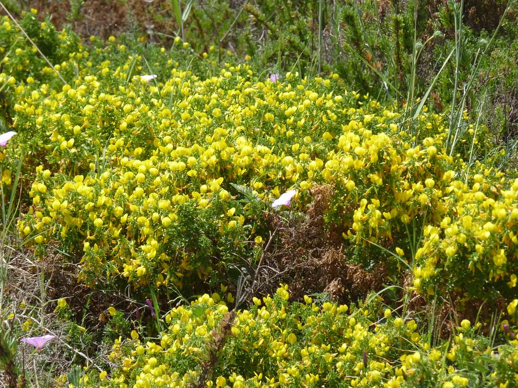 """Fiori Selvatici Foto E Nomi realmonte (ag) - fiori selvatici sulla spiaggia della """"sca"""