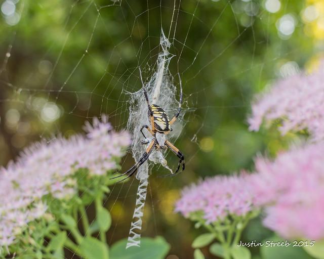 Black & Yellow Garden Spider 2