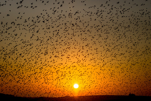 starling flock sunset cornwall murmuration