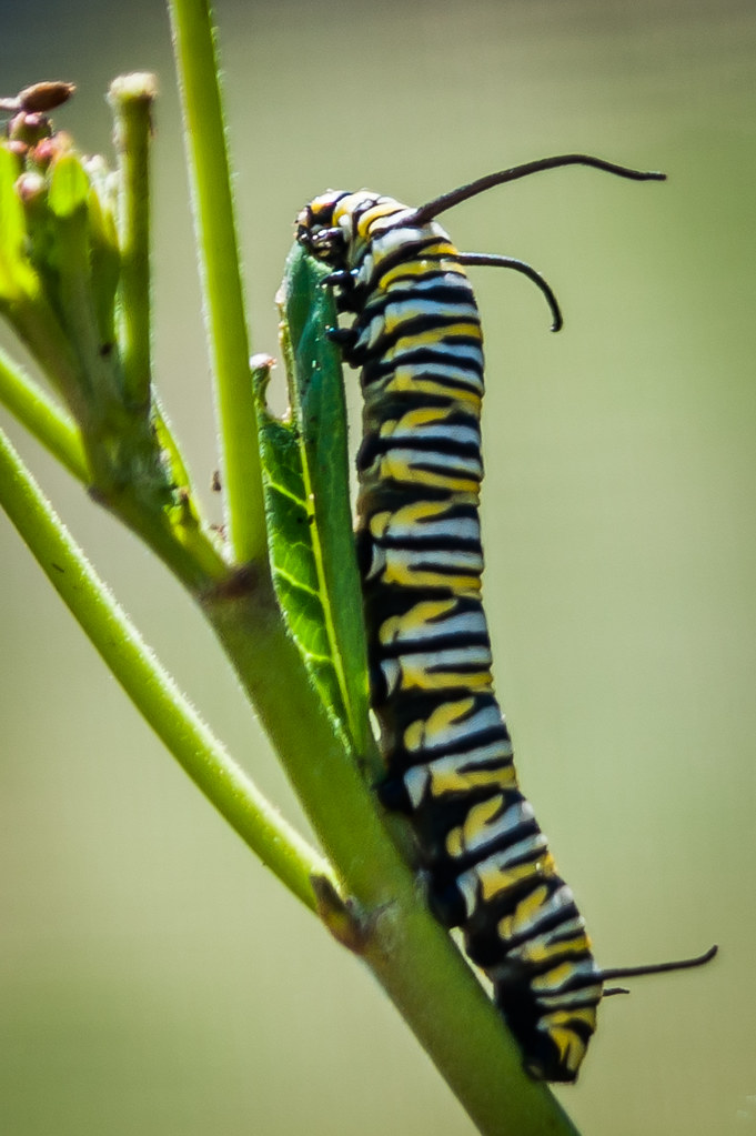 Monarch Caterpillar - eating milk weed