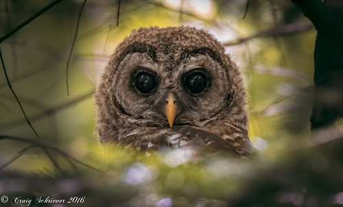 Barred Owl | by Craig Schriever