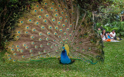 Picnic, park & peacock - Alajuela, Costa Rica | by Phil Marion (176 million views - THANKS)