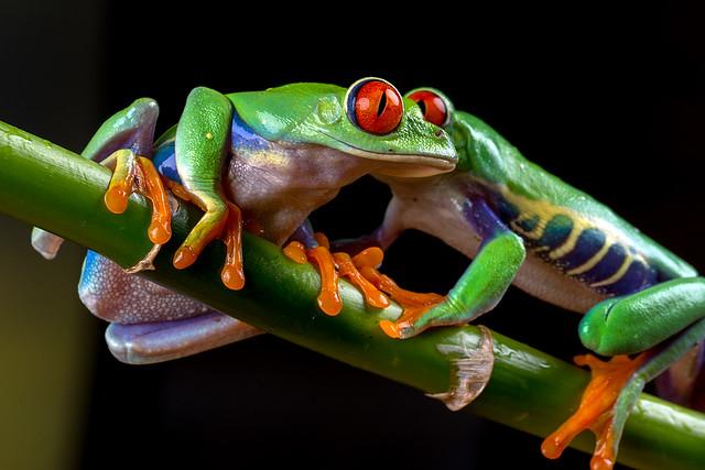 Red-Eyed Tree Frogs, CaptiveLight, Bournemouth, Dorset, UK