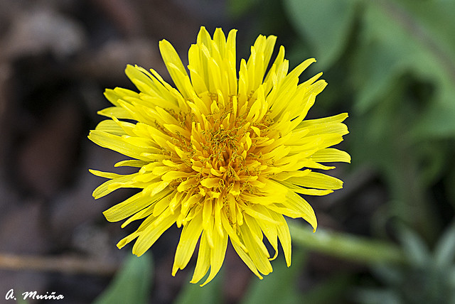 Country flower. Flor campestre