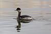 black-necked grebe by string_bass_dave