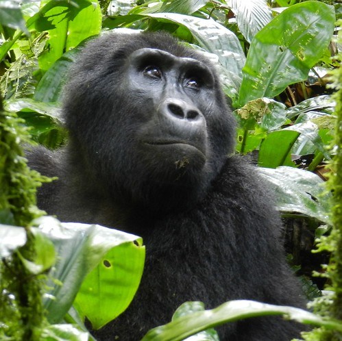 Eastern gorilla by Peter Stoel | by Oregon State University