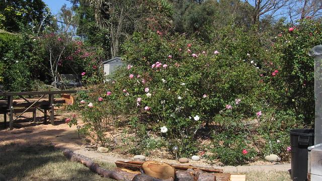IMG_1335 goleta backyard redwood around rose circle