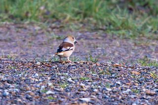 Hawfinch (Coccothraustes coccothraustes) | by Brian Carruthers-Dublin-Eire