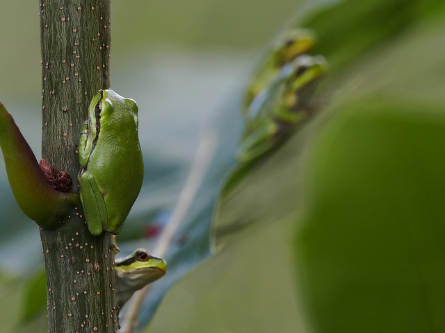 Young tree frogs