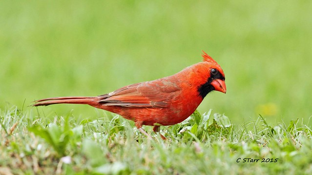 107 male red cardinal