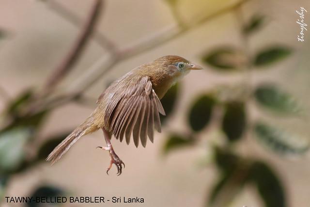 (455a) Tawny-Bellied Babbler - [ Yala Nat.Park, Sri Lanka ]