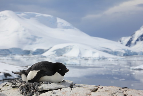 Adelie penguin - Pertermann island, Antarctica - © Loic Dorthe | by Traveloscopy