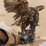 Falcon beheading a pigeon.