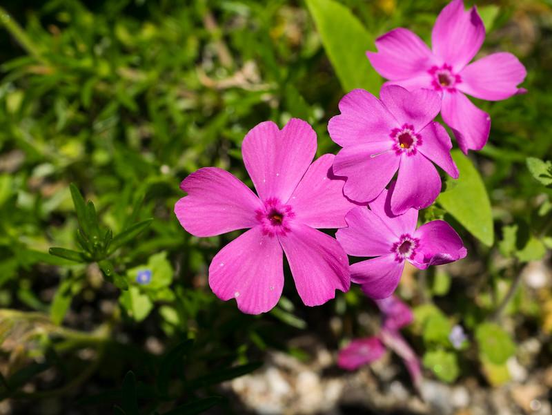 新しいマクロレンズで撮影GM1だと背の低い花を横から撮るのは諦めた