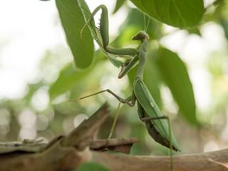 praying mantis | גמל שלמה | by Yoni Lerner
