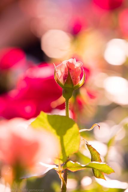 Spring rose twinkle