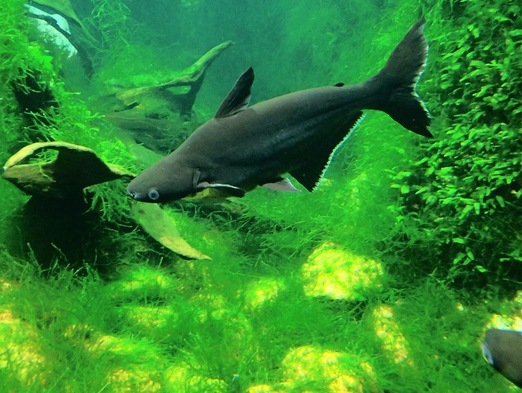 Αποτέλεσμα εικόνας για Pangasius Sutchi Shark