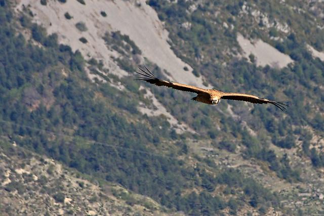 Vautour fauve - griffon vulture - Madone d'Utelle