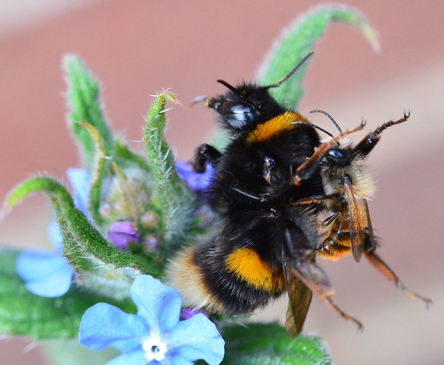 Queen Buff Tailed Bumblebee with Confused Mason Bee (Osmia bicornis)