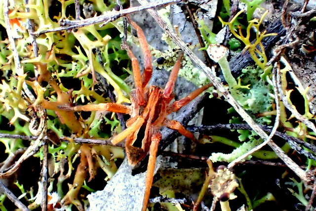 Spider on Lichen - Peter Murrell Reserve