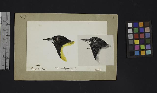 Robert Ridgway Bird Head Drawing 409