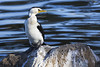 Little Pied Cormorant 2015-05-03 (_MG_2969) by ajhaysom
