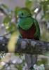 1-Cuando el Quetzal se percha en el aguacatillo para comer, todo el bosque se torna resplandeciente!! by Cimarrón Mayor 18,000.000. VISITAS GRACIAS