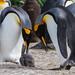 Pingüino Rey - Photo (c) Gregoire Dubois, algunos derechos reservados (CC BY-NC-SA)