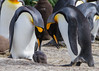 King Penguins (Aptenodytes patagonicus), Tiera del Fuego, Chile by Free pictures for conservation