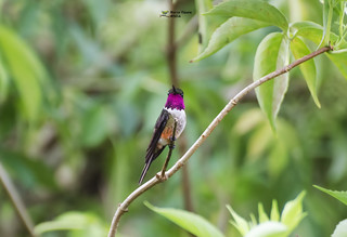 Magenta-throated Woodstar (Calliphlox bryantae) | by mckoy0188