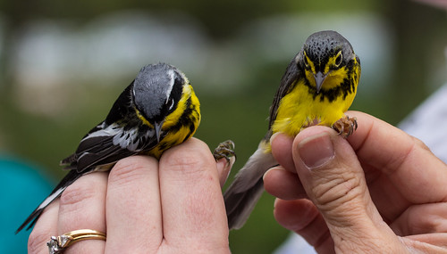 Magnolia and Canada Warbler side by side