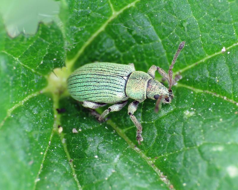Phyllobius virideaeris/roboretanus