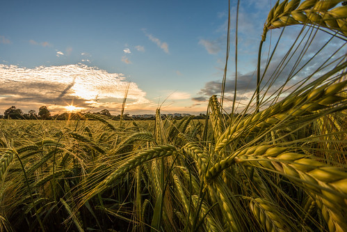 hello sunset summer up field corn close cheshire rye fisheye crop wirral eastham 750d