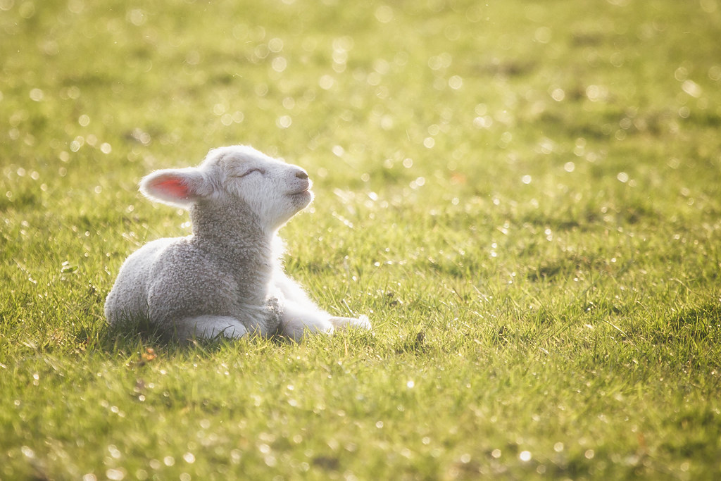 Happy Lamb | Newborn lamb basking in the evening light on a … | Flickr