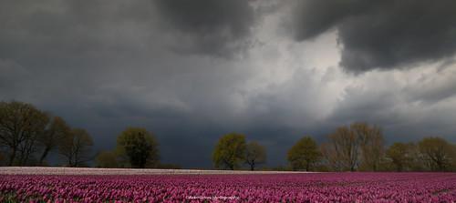 holland netherlands clouds spring purple tulips tulip fields bulbs lente oud overijssel fruhling vechtdal bergentheim overijsselsvechtdal oudbergentheim vechtstromen vechtdaltip vechtdalfoto