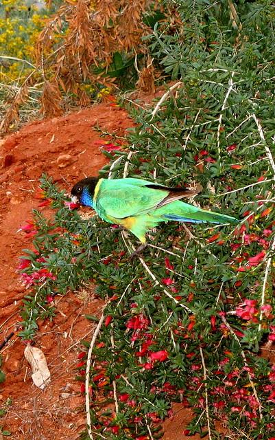 Australian Ringneck - Barnardius zonarius - Alice Springs