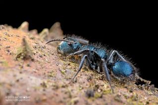 Blue ant (Echinopla striata) - DSC_8916