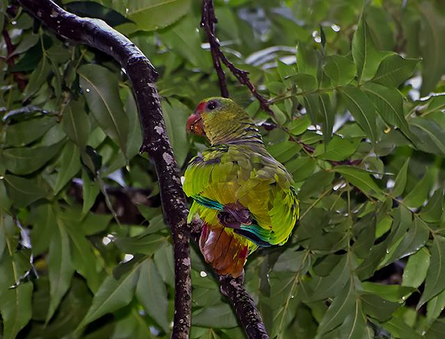 Papagaio-de-peito-roxo (Amazona vinacea)