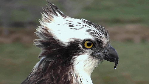 The new Glaslyn male, May 2015.