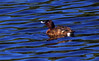 White eyed duck - Aythya australis Perth WA by Maureen Pierre