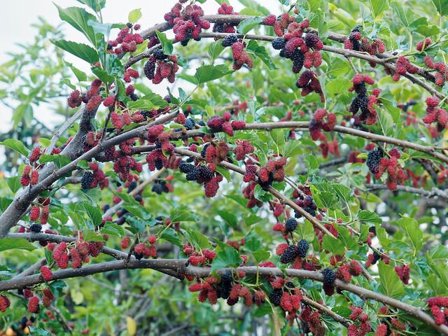 桑椹 Mulberries