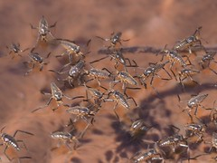 Water Striders, Grand Canyon