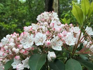 Mountain Laurel is now blooming | by MartinSteel